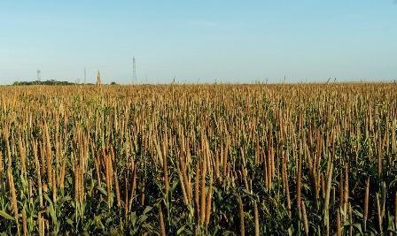 Anvisa concede ao milheto autorização para uso na alimentação humana